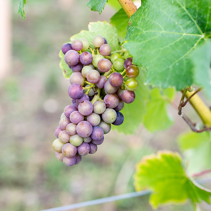 Grapes at Flint Vineyard